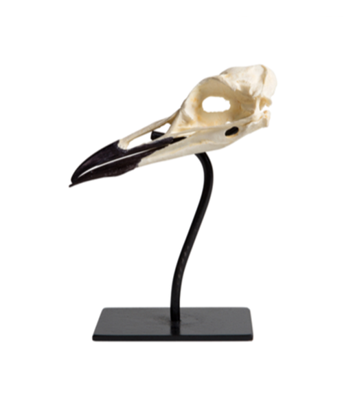 Common Murre Skull on Stand by Ashley Tudor