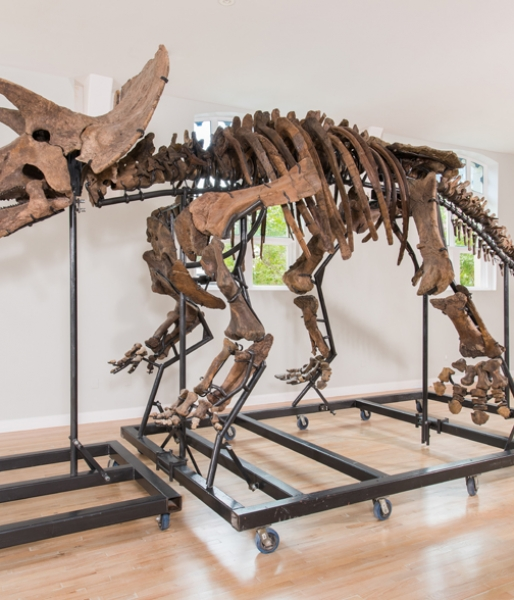 Mounted Triceratops prorsus