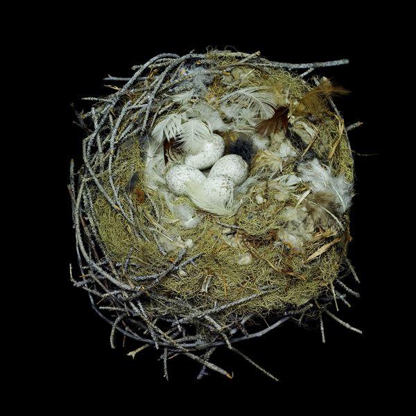 Gray Jay Nest