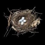 Swainson's Thrush NY Nest
